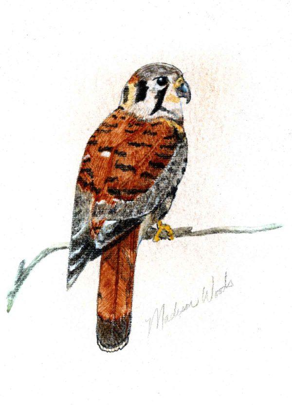 kestrel done in handmade watercolors