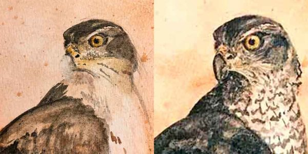Erased the goshawk beak and re-did more than once to get it right.