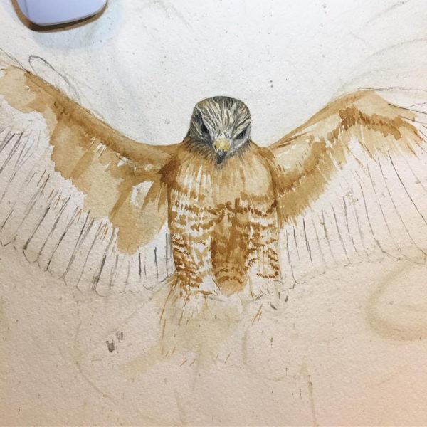 Red-shouldered hawk in progress.