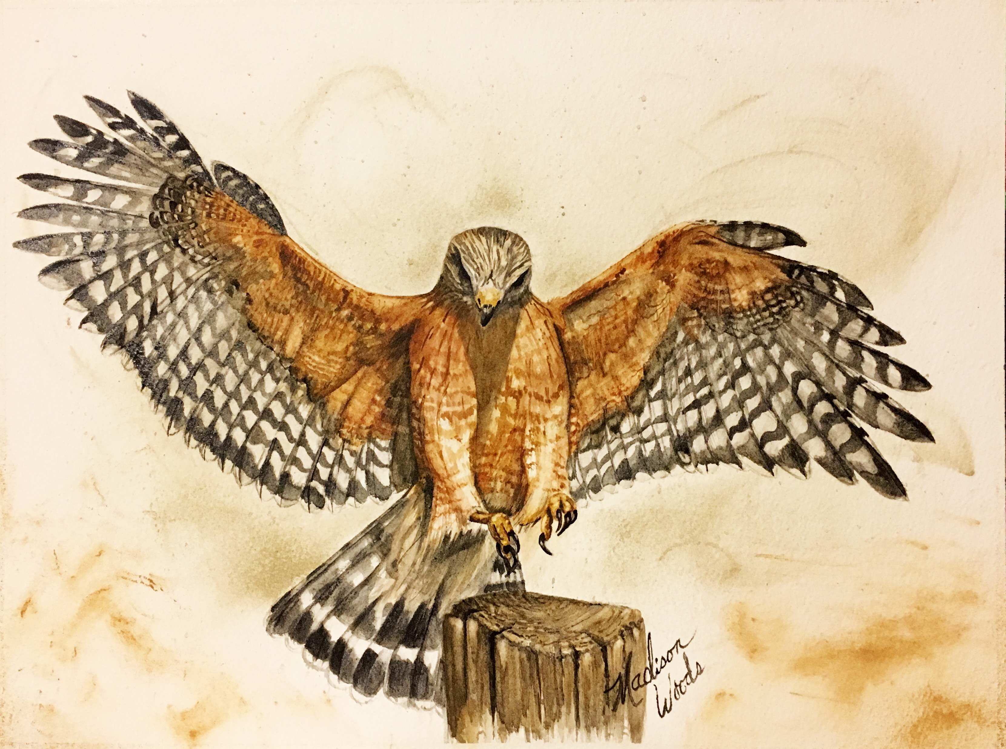 Red-shouldered hawk in handmade watercolors using Ozark pigments.