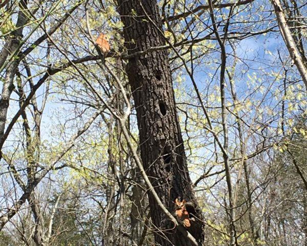 2 little screech owls sitting in a tree.