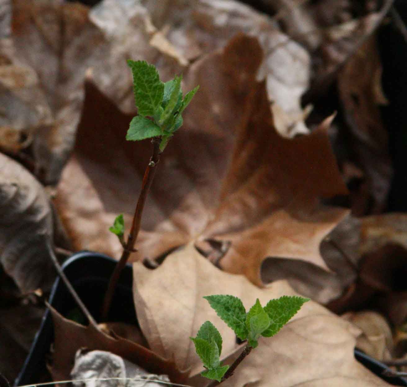 Early April in the Ginseng Habitat | Wild Ozark