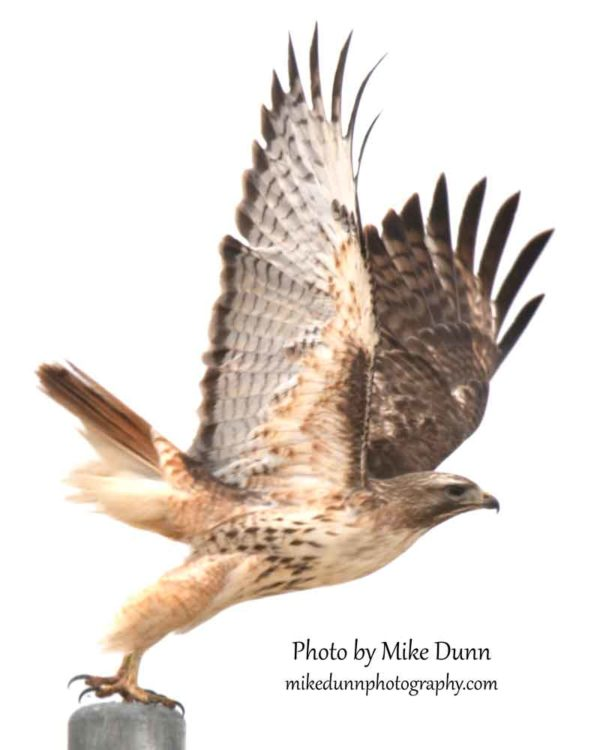 This red-tailed hawk is the subject of my painting in progress.