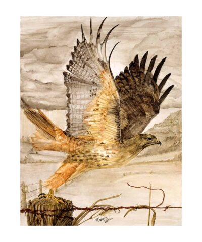 16 x 20 Red-tailed hawk print matted to 20 x 24