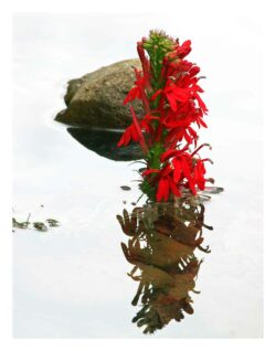 Cardinal Flower Reflections, photography by Madison Woods.
