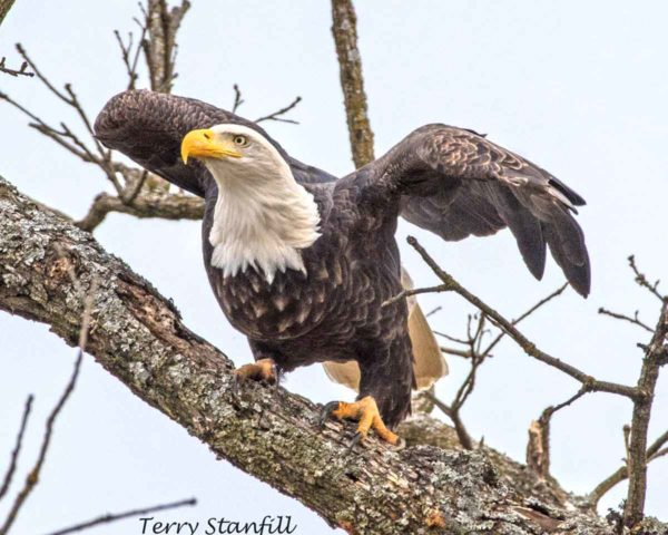 A bald eagle photo by Terry Stanfill that I'm using (with permission) as a reference for my painting.