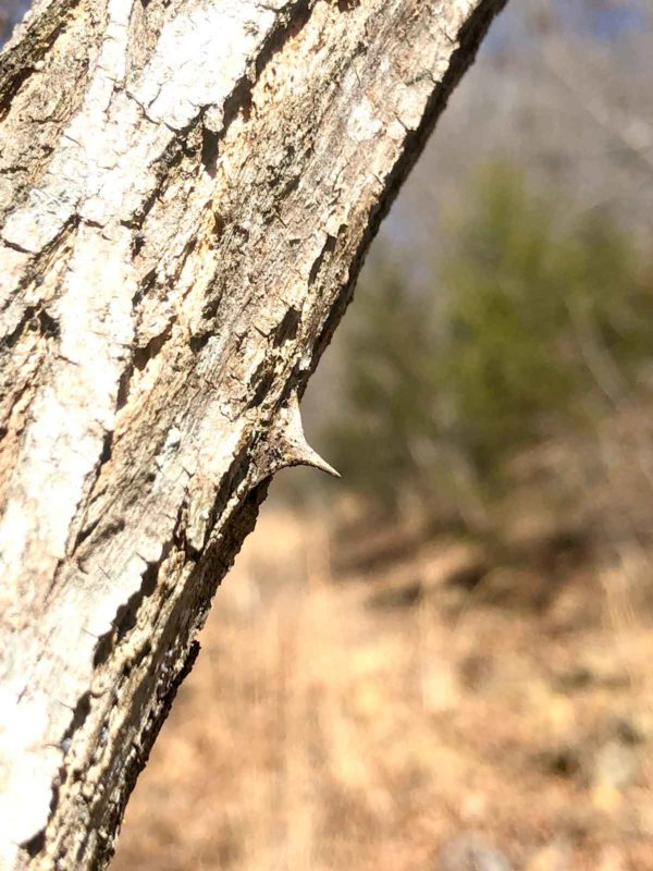 Don't grab the locust trees for a helping hand.