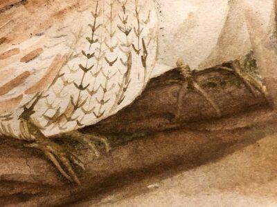 bobwhite quail feet