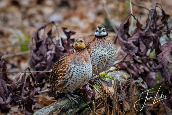 A pair of bobwhite quail, photographed by Jami Linder. Used as my reference with her permission.
