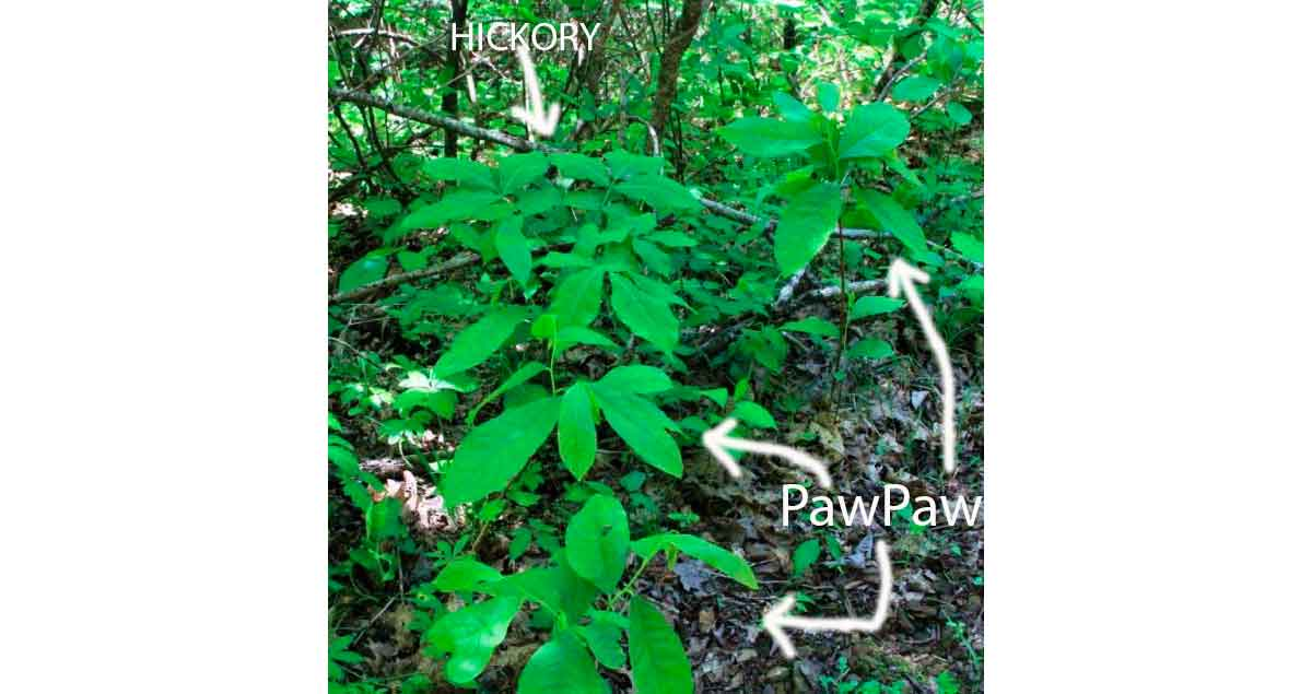 Pawpaw seedlings look a lot like hickories when they're both young.