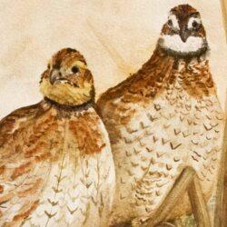 North American Game Birds