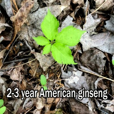 2-3 year old American ginseng seedling.