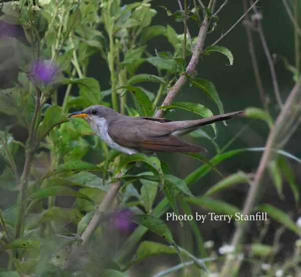 Yellow-billed cuckoo, a.k.a. 'rain crow'. Photograph by Terry Stanfill.