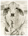 Archival prints of Whisper, the Brahman cow.